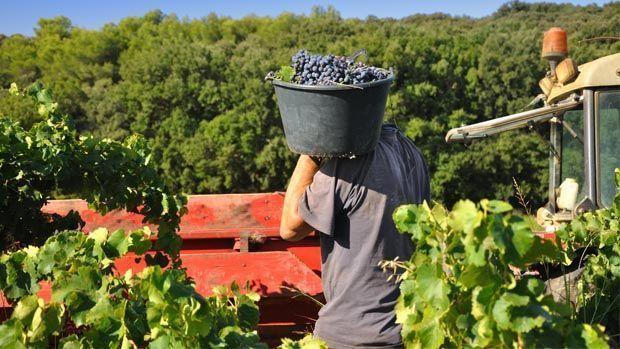Trabajar en la vendimia en Francia