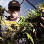 cosecha-marihuana-california