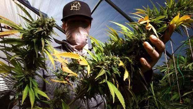 Trabajar en la Marihuana en California