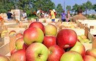 Trabajar en la recogida de la manzana en Francia