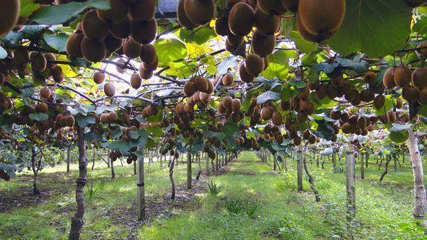 Trabajar en la recogida del kiwi en Francia